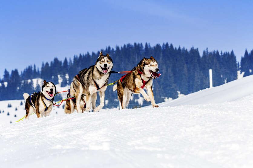 Lapland Husky Trail image